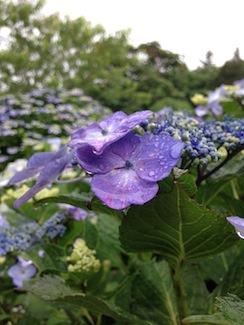 20160704-紫陽花と雫.JPG