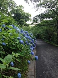 20170704-お城山アジサイ.jpg
